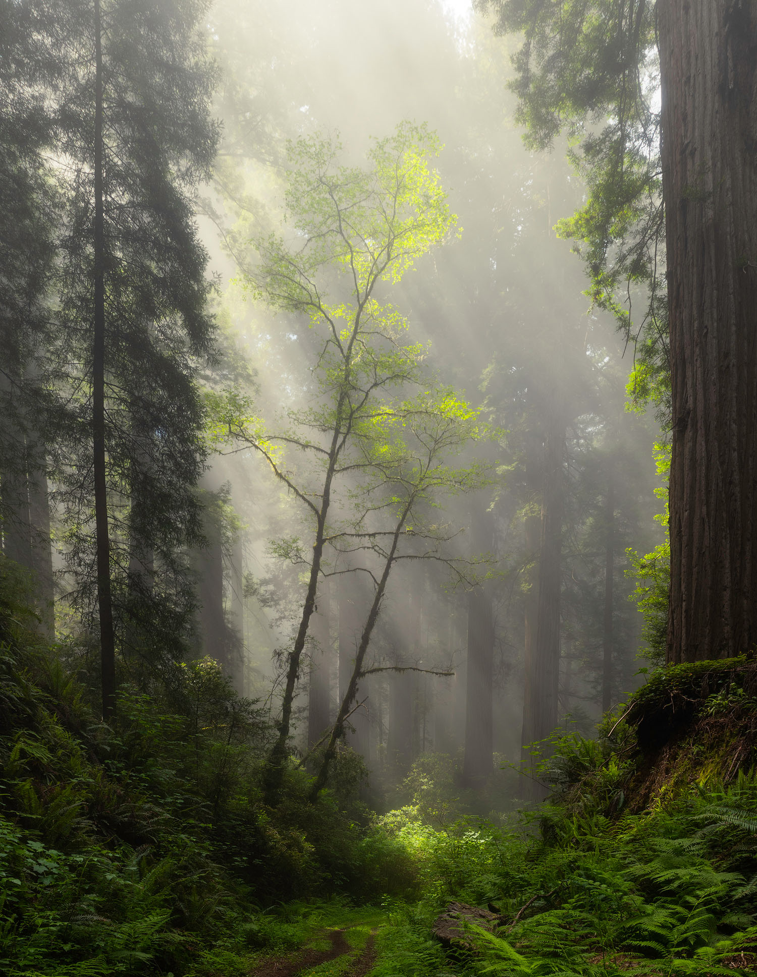 lit up tree in the redwoods